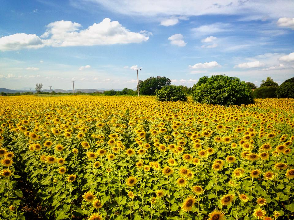 Sunflower Field Saraburi Thailand