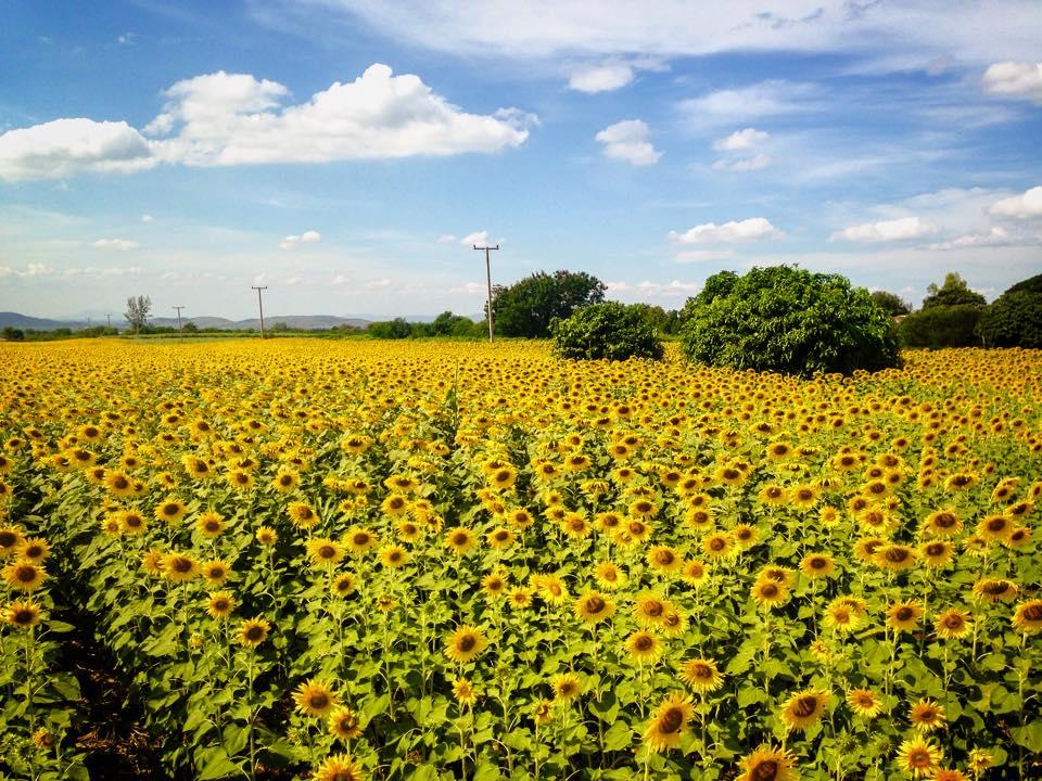 Sunflower Field Saraburi Thailand